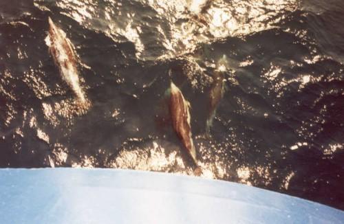 delphin1